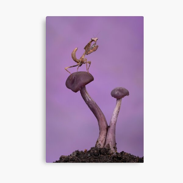Dead leaf mantis on amethyst deceiver mushrooms - purple BG Canvas Print