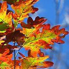 Pretty Autumn Oak Leaves by lorilee