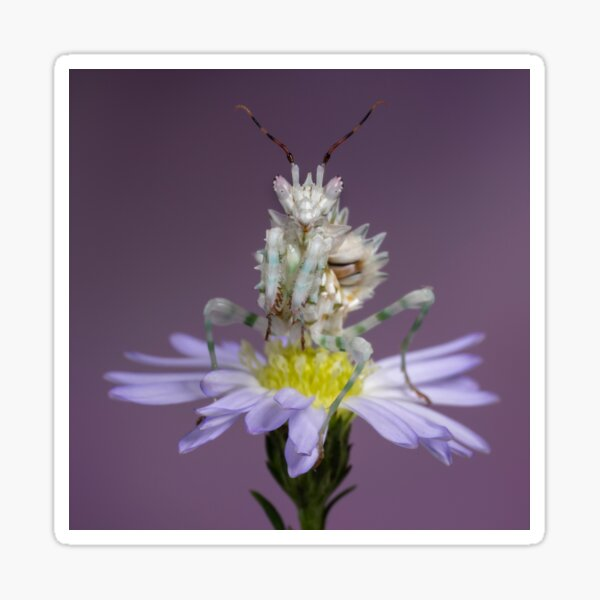Spiny flower mantis on purple flower Sticker