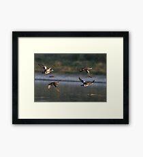 American Wigeons in Flight Framed Print
