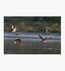 American Wigeons in Flight Photographic Print