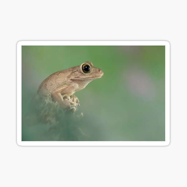 Cuban tree frog Sticker