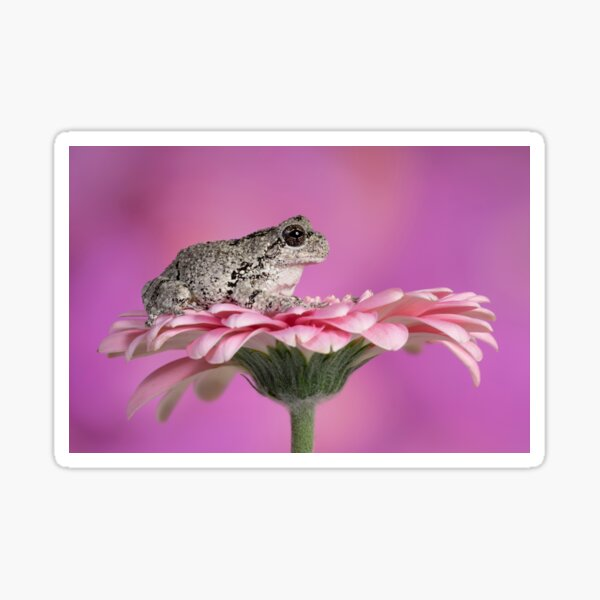 Greys tree frog sitting on pink flower Sticker