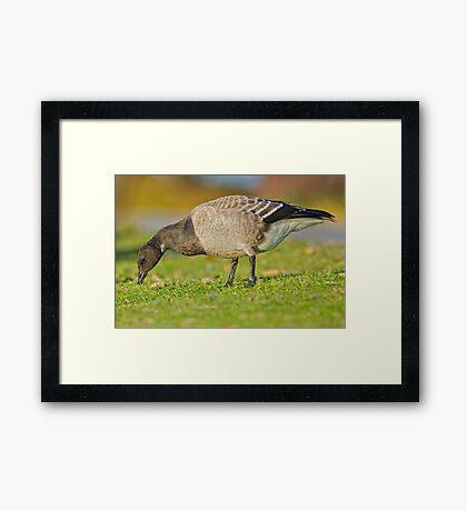 New goose in town Framed Print