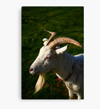 Welsh Goat Canvas Print