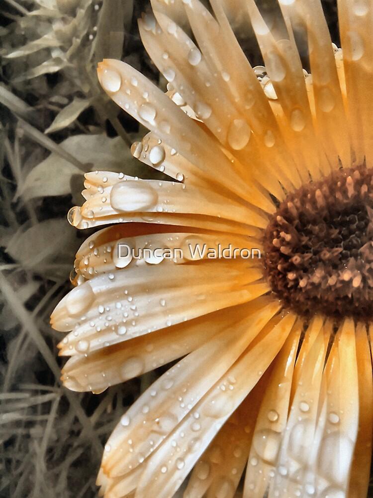 Raindrop Calendula by DuncanW