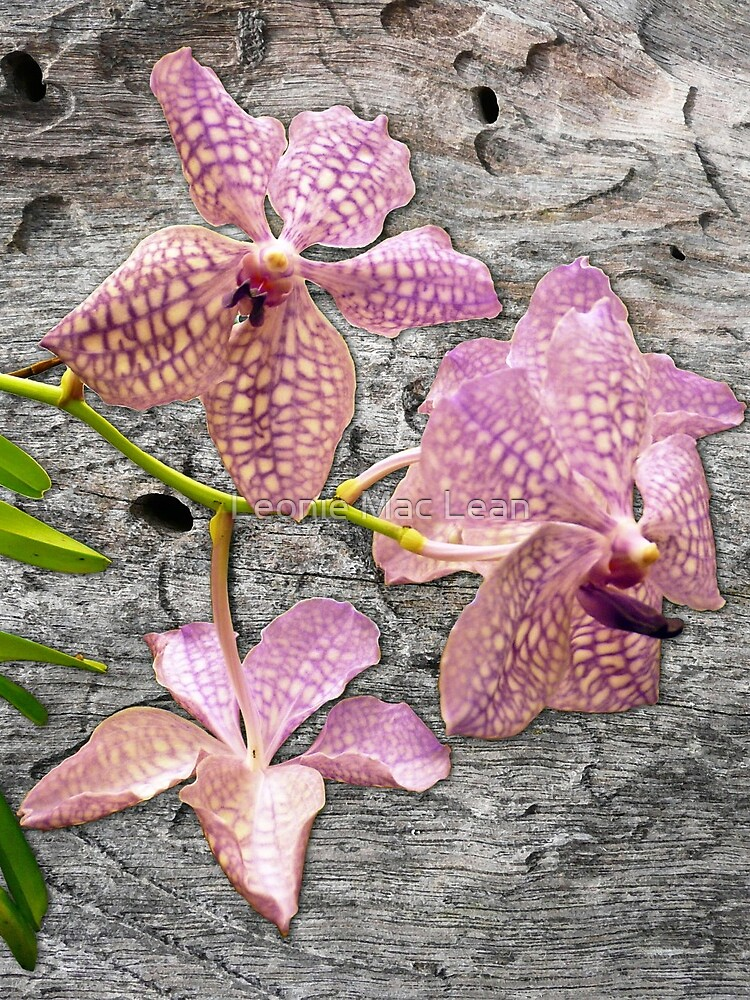 Purple Vanda orchid hybrid on Wood by yallmia