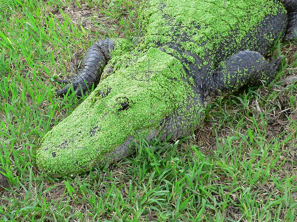 Swamp Gator by kevint