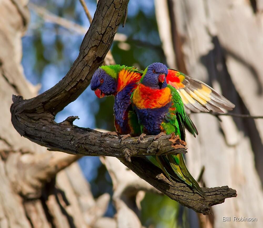 Rainbow  Lorikeets by Bill  Robinson