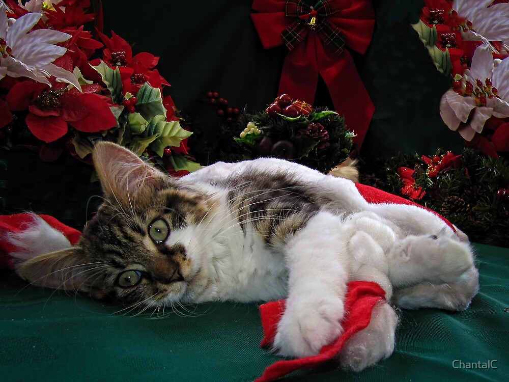 Cool Kitty Cat Lying on its Side Holding a Red Xmas Ribbon Dreaming of Christmas ~ Kitten Framed w Poinsettias by Chantal PhotoPix