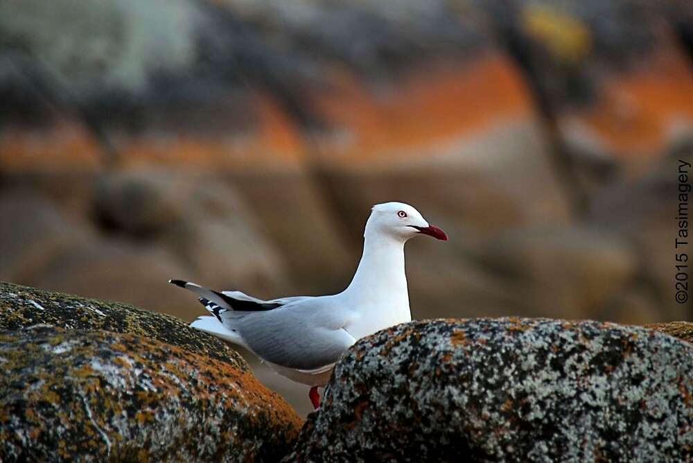 Seagull by tasimagery