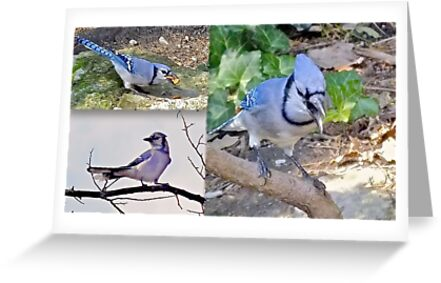 Blue Jays   by kjeld