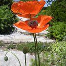Oriental Poppies in Bright Orange by Paula Betz