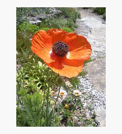 Pretty Orange Poppy in a Rock Garden Photographic Print