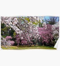 beautiful sakuras Poster