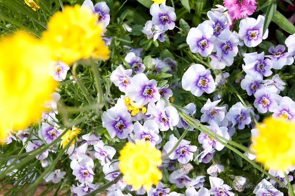 Sunny Pansies in Bloom by Jacqueline Anderson
