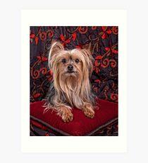 A Royal Yorkshire Terrier  Art Print