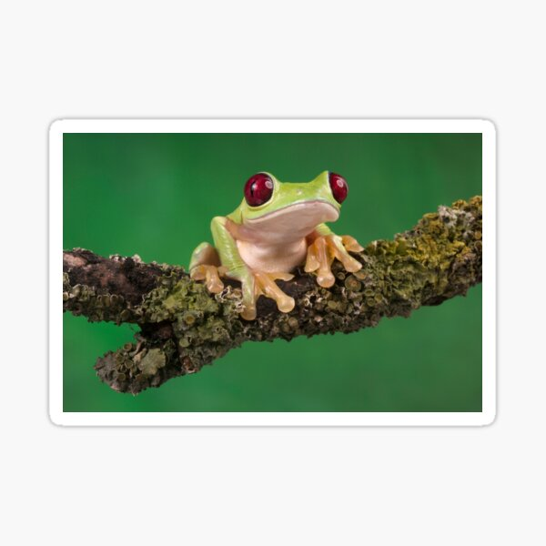 Ruby eyed tree frog  Sticker