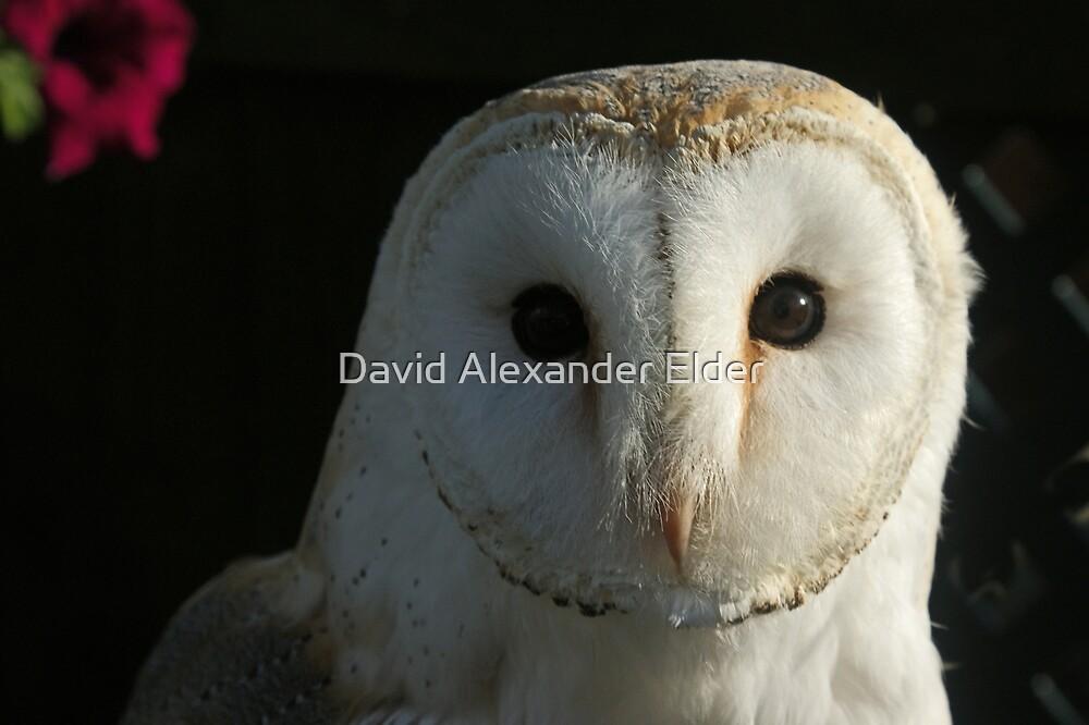 Barn Owl Staring by David Alexander Elder