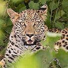 Leopard in hiding by Will Hore-Lacy
