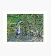 Heron hunting Art Print