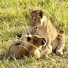 Lion Cubs Wrestling by Rhys Herbert