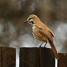 Perched Bird - Kenya by Rhys Herbert