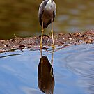 White Faced Heron by Richard  Windeyer