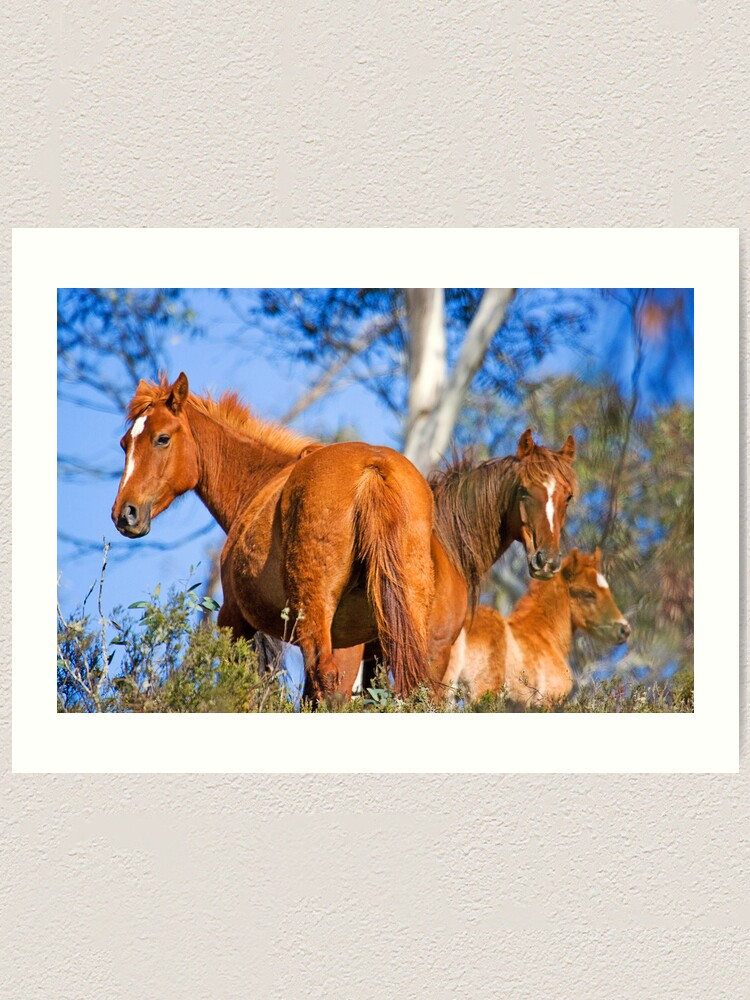 Alternate view of Brumbies in Kosciuszko National Park Art Print