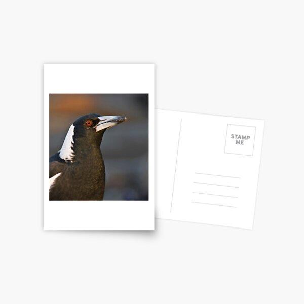 Australian Magpie Postcard