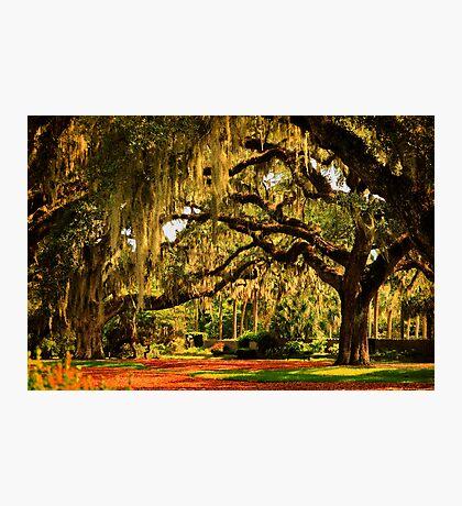 Old Southern Plantation Oaks Photographic Print