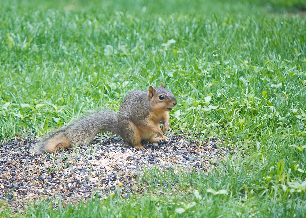 Squirrel eating off the ground. by chelseysue