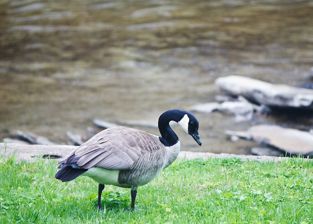 Friendly Goose. by chelseysue