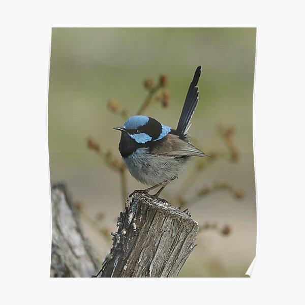 Superb Blue Fairy Wren (male)8568 Poster