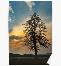 Silky Oak Poster