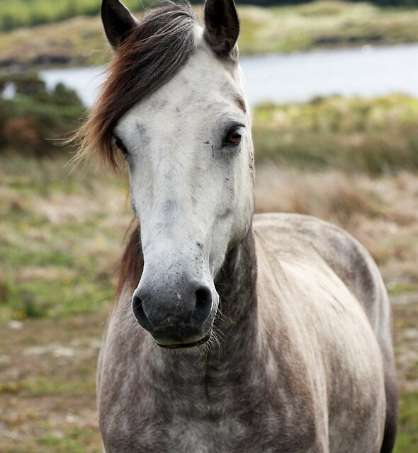 Connemara Pony  by ConnemaraPony