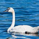 The Blues Of A Trumpeter Swan by DigitallyStill