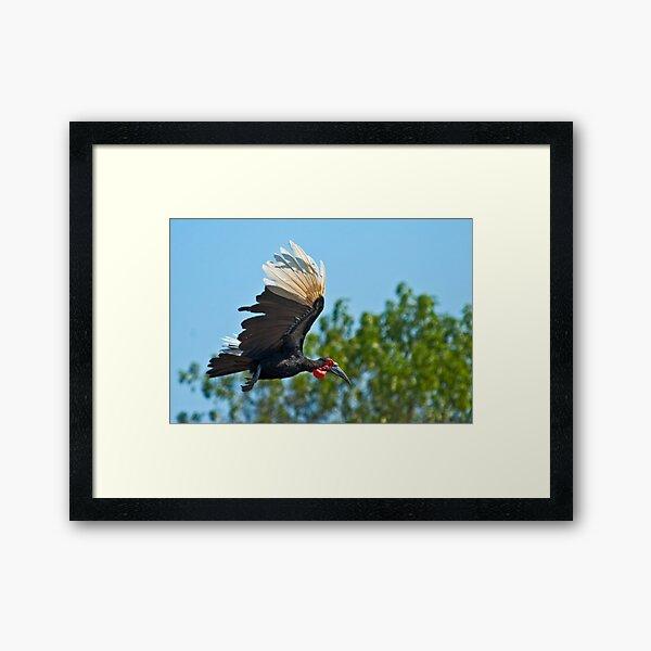 Southern Ground Hornbill on flight Framed Art Print