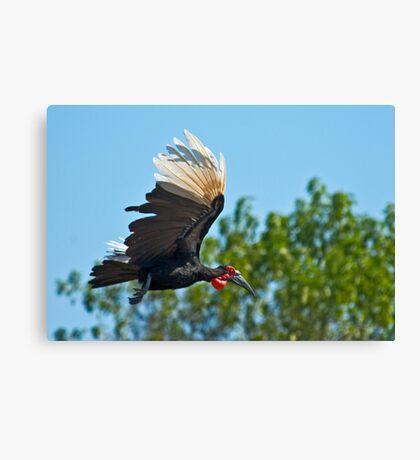 Southern Ground Hornbill on flight Canvas Print