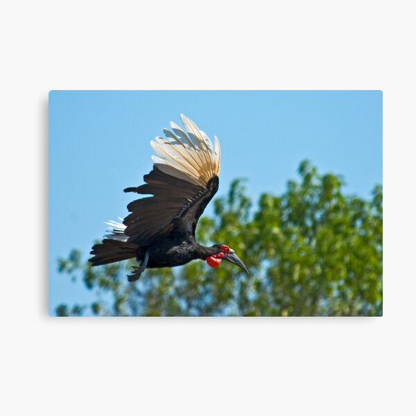 Southern Ground Hornbill on flight Canvas Print