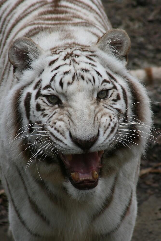 White Tiger Face Growling | www.pixshark.com - Images ...