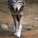 Red Wolf Strut by Karol Livote