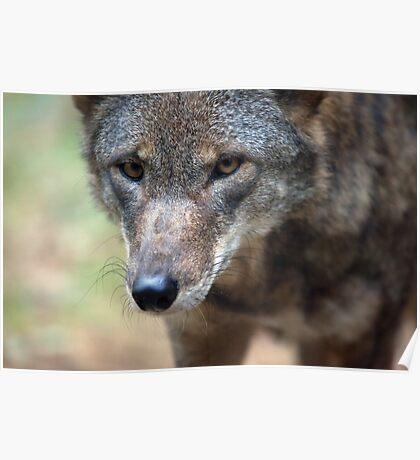 Red Wolf Closeup Poster