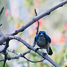 Blue Jay by zzsuzsa