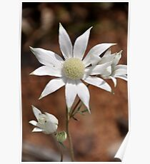 Flannel Flowers  [This is the front page of my calendar] Poster