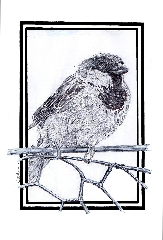 House Sparrow - Passer domesticus by Cantus