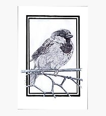 House Sparrow - Passer domesticus Photographic Print