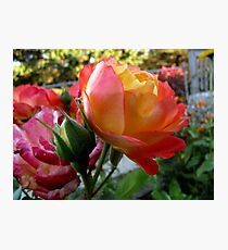 Rose of Many Colors Photographic Print