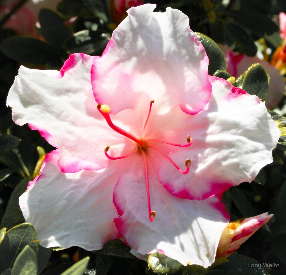 Azalea by Tony Waite
