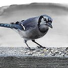 Bluejay by Pat Moore